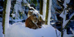Lynx in Bavarian forest, Germany (© Framepool)