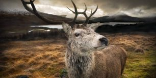 Close-up of a red stag in the Scottish Highlands (© gmsphotography/Getty Images)