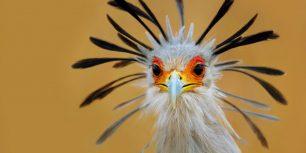 Secretary bird, Kruger National Park, South Africa (© Johannes Swanepoel/Alamy)