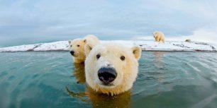 Polar bears, Arctic National Wildlife Refuge, Alaska (© Steven Kazlowski/SuperStock)