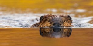North American beaver in Denali National Park, Alaska (© Eastcott Momatiuk/Masterfile)