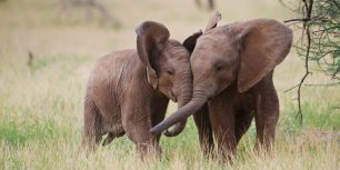 Young African elephants playing in Samburu National Reserve, Kenya (© Jeff Vanuga/Corbis)