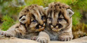 Mountain lion cubs near Bozeman, Montana (© Don Johnston/age fotostock)