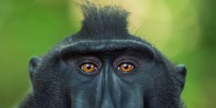 Celebes crested macaque mature male, Tangkoko National Park, Sulawesi, Indonesia (© Anup Shah/Corbis)