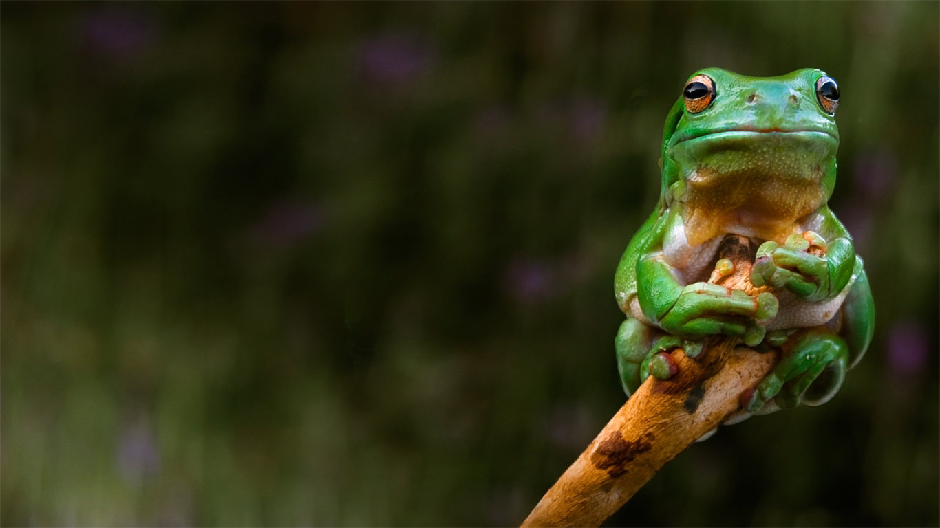 A frog clings to the tip of a branch, Adelaide, Australia (© Rob Sturman/Corbis)