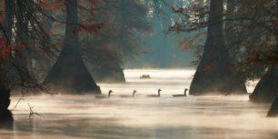 Canada geese in Hill Lake, Pulaski County, Arkansas, USA (© Barry Hamilton/Corbis)