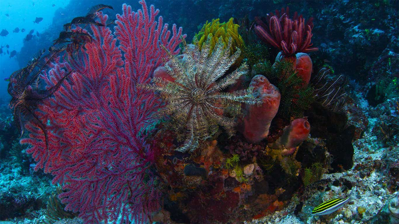 Gorgonian coral, crinoid, and sponges, Komodo National Park, Indonesia (© Mammoth HD)