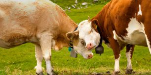 Cows in Thurgau, Switzerland (© plainpicture/Yabo)