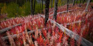 Fireweed reclaiming burned land near the Little Klappan River in British Columbia, Canada (© Carr Clifton/Minden Pictures)