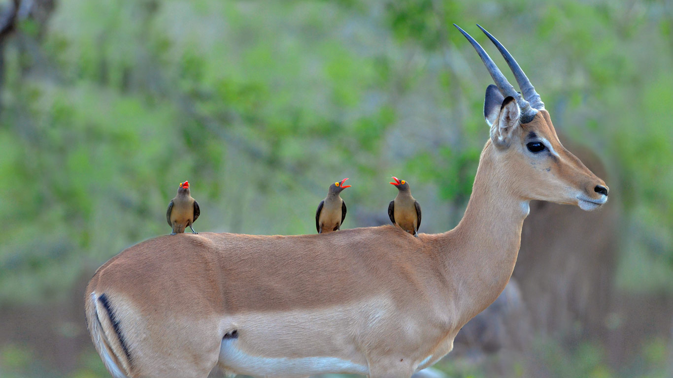 Red-billed oxpeckers on an impala, Kruger National Park, South Africa (© Friedrich von Hörsten/Alamy)