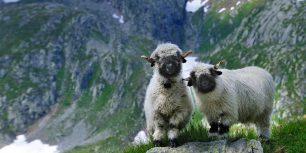 Valais blacknose sheep in Valais, Switzerland (© NaturePL/SuperStock)