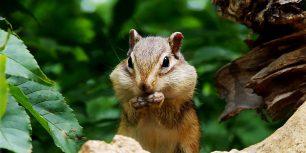 Siberian chipmunk eating sunflower seeds, Hokkaido, Japan (© Shutterstock)