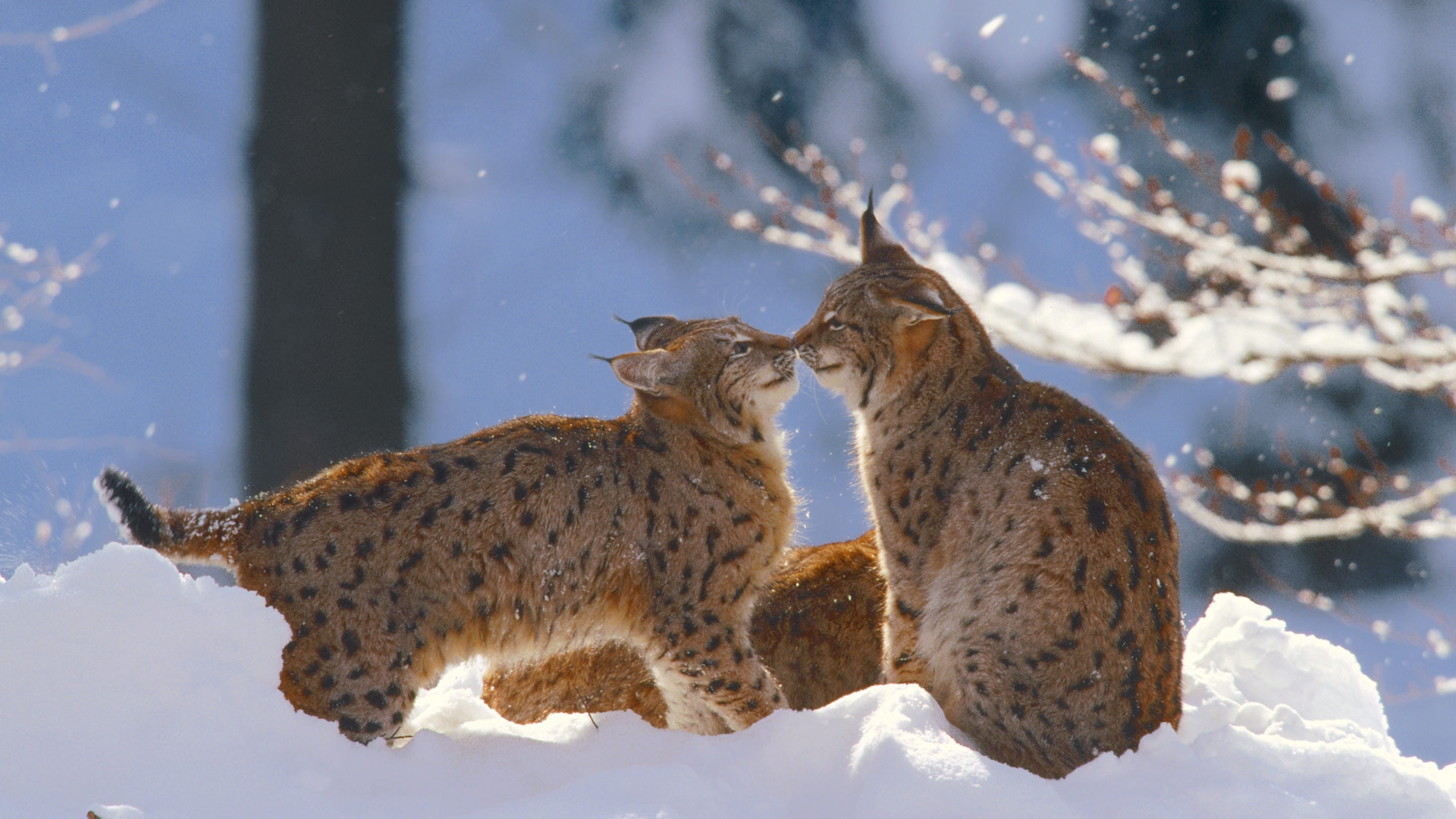 Eurasian lynx in the Bavarian Forest National Park, Germany (© Konrad Wothe/Minden Pictures)