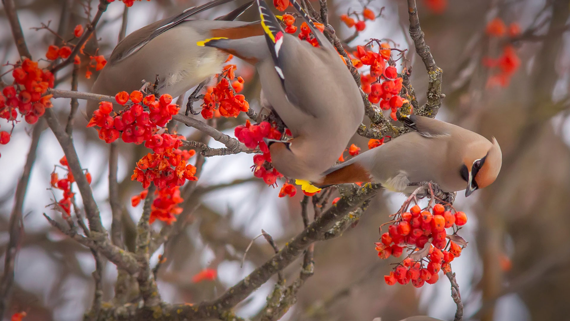 Bohemian waxwings eating rowan berries, Whitefish, Montana (© Chuck Haney/Alamy)