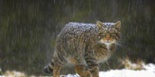 Wildcat in Scotland (© Pete Cairns/Minden Pictures)