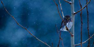 Northern pygmy-owl, Glacier National Park, Montana (© Steven Gnam/Tandem Stills + Motion)