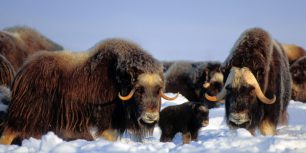 Muskox in the Brooks Range, Alaska (© Steven Kazlowski/Corbis)