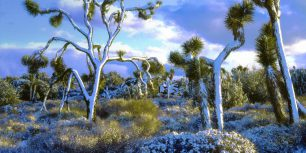 Snow-covered Joshua trees, Joshua Tree National Park, California (© Christopher Talbot Frank/Danita Delimont)