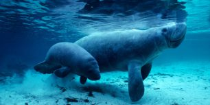 West Indian manatees in the Crystal River, Florida (© Daniel J. Cox/Corbis)