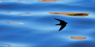 Silhouette of barn swallow in Berwickshire, Scotland (© Laurie Campbell/Alamy)