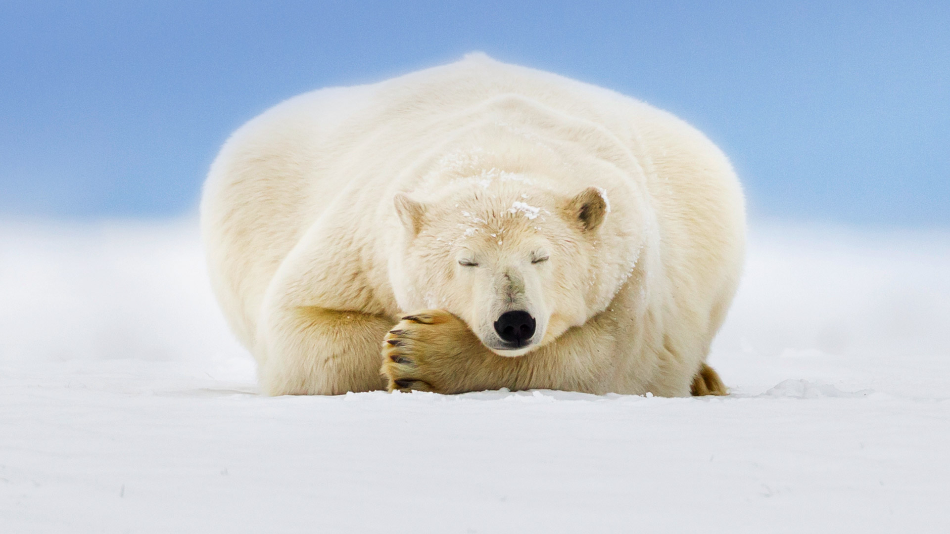 Polar bear on a barrier island in the Beaufort Sea, Arctic National Wildlife Refuge, Alaska (© Patrick Endres/plainpicture)