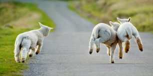 Lambs frolicking in Christchurch, New Zealand (© Andrew Walmsley/Alamy)