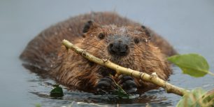 North American beaver in Denali National Park and Preserve, Alaska (© Yva Momatiuk & John Eastcott/Corbis)