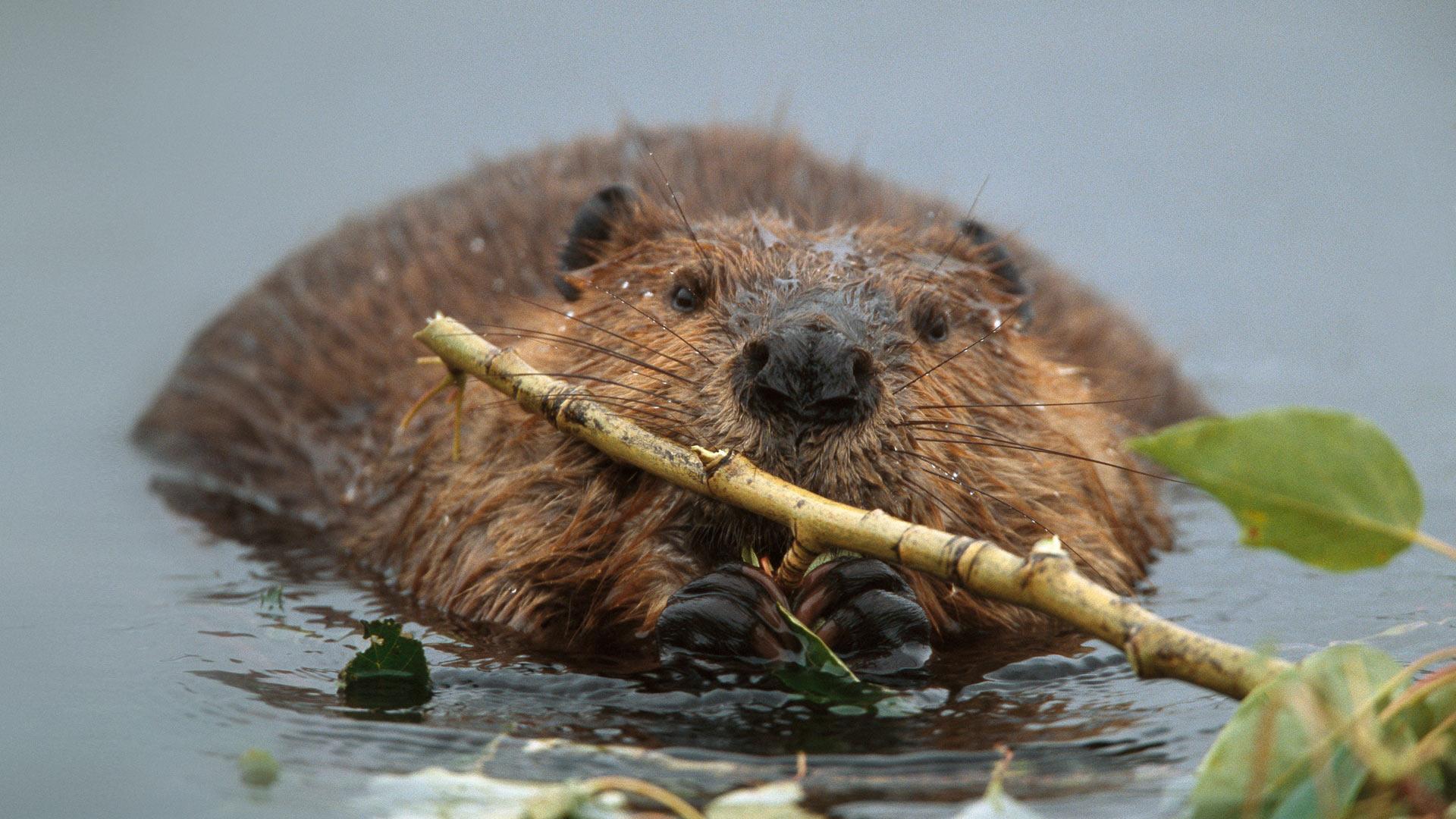 North American beaver in Denali National Park and Preserve, Alaska (© Yva Momatiuk & John Eastcott/Corbis)