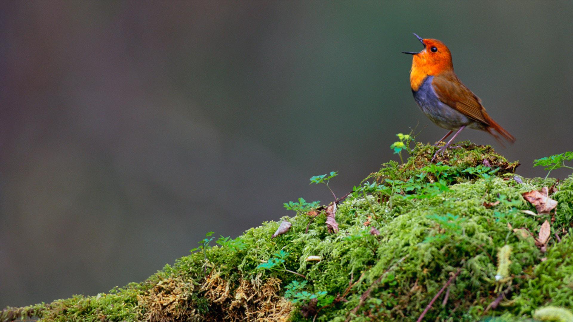 Japanese robin, Yatsugatake, Nagano, Japan (© Gouichi Wada/Minden Pictures)