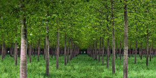 Poplar trees in Po Valley, Italy (© Eddy Galeotti/Alamy)