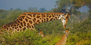 Male giraffe and two calves (© Richard du Toit/age fotostock)