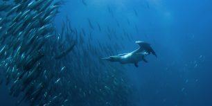 Cape gannet diving for fish off Port St. Johns, Wild Coast, Eastern Cape, South Africa (© FLPA/FLPA/SuperStock)