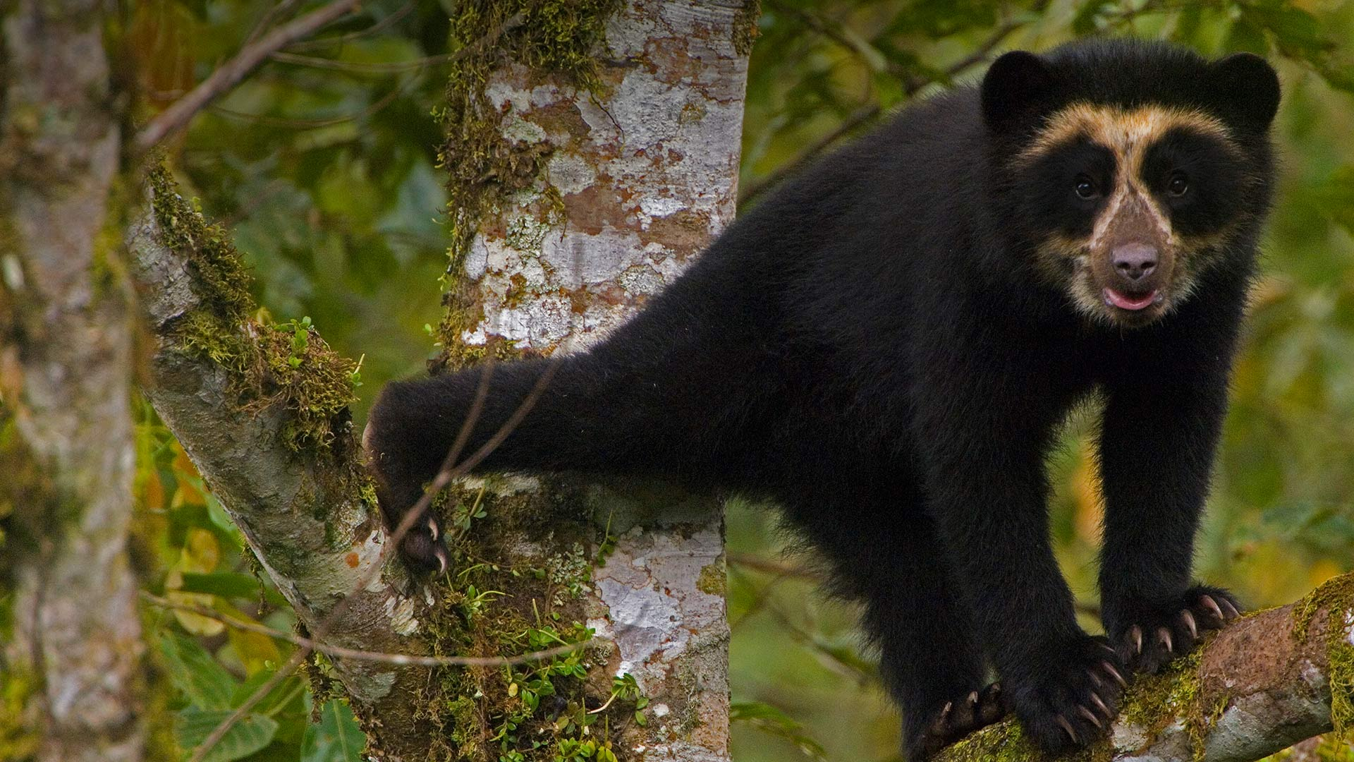 A spectacled bear cub in Maquipucuna Cloud Forest Reserve, Ecuador (© Pete Oxford/Minden Pictures)