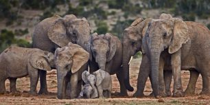 African elephants (© James Hager/Offset)