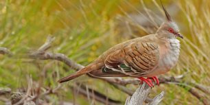 Crested pigeon in Uluru-Kata Tjuta National Park, Australia (© Photodigitall.nl/Shutterstock)