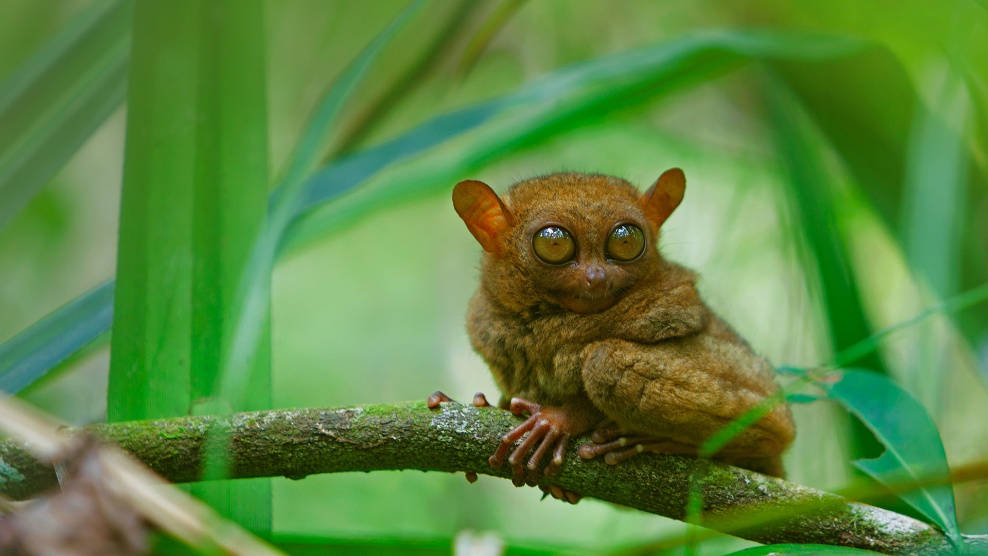 A tarsier at rest, Bohol Island, Philippines (© Deddeda/Getty Images)