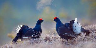 Black grouse males, Bergslagen, Sweden (© E. Haarberg/Corbis)