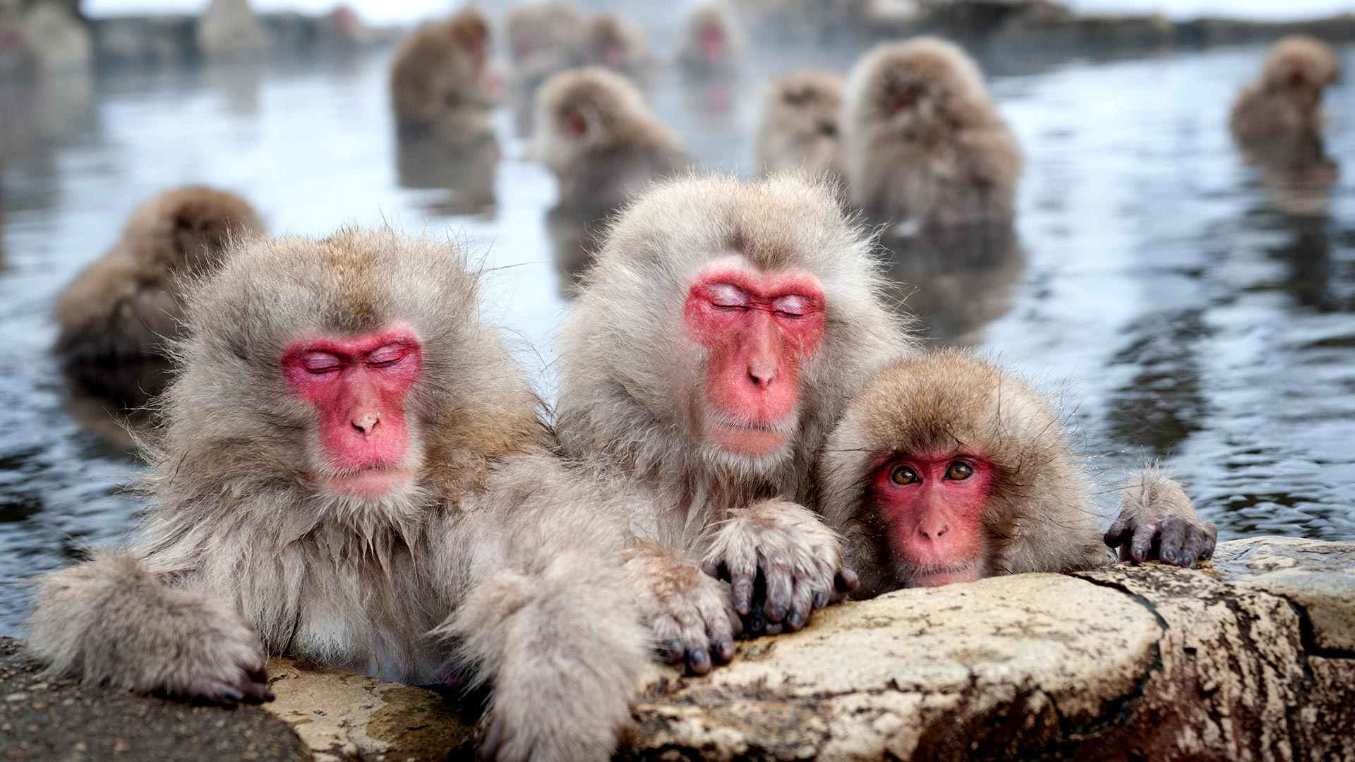 Snow monkeys (Japanese macaques), Nagano, Japan (© redswept/Shutterstock)