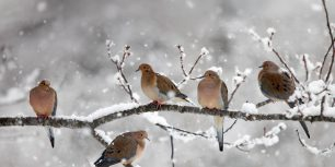 Mourning doves near Bear River, Nova Scotia, Canada (© Scott Leslie/Minden Pictures)