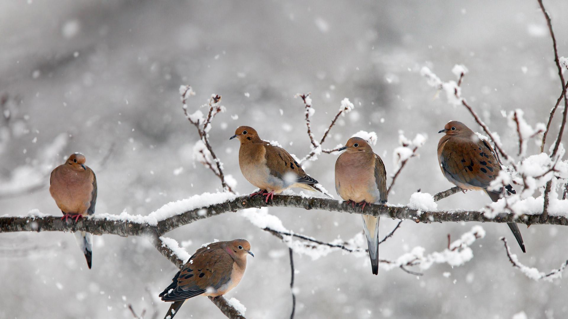 Mourning doves near Bear River, Nova Scotia, Canada (© Scott Leslie/Minden Pictures)