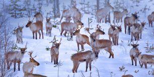Reindeer near Oulu, Finland (© Juan Carlos Muñoz/age fotostock)
