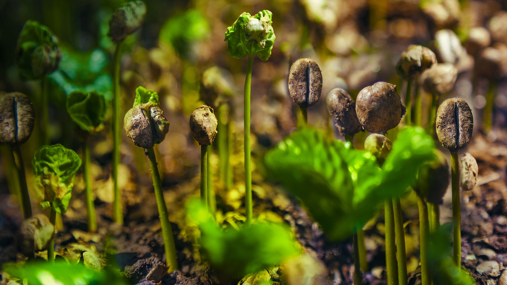 Coffee sprouts in Costa Rica (© Istvan Kadar Photography/Getty Images)