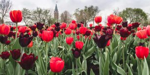 Tulips in front of the Parliament buildings in Ottawa, Canada (© Danielle Donders/Getty Images)