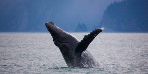 Humpback whale off the shore of Kenai Fjords National Park, Alaska (© Ron Niebrugge/Alamy)