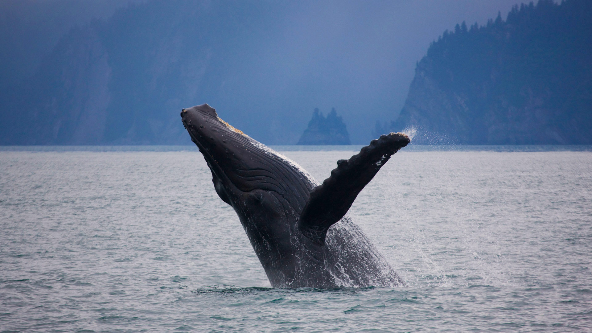Humpback whale off the shore of Kenai Fjords National Park, Alaska (© Ron Niebrugge/Alamy)