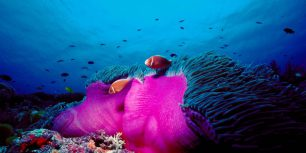 Pink skunk clownfish and magnificent sea anemone in the Great Barrier Reef, Australia (© Norbert Wu/Minden Pictures)