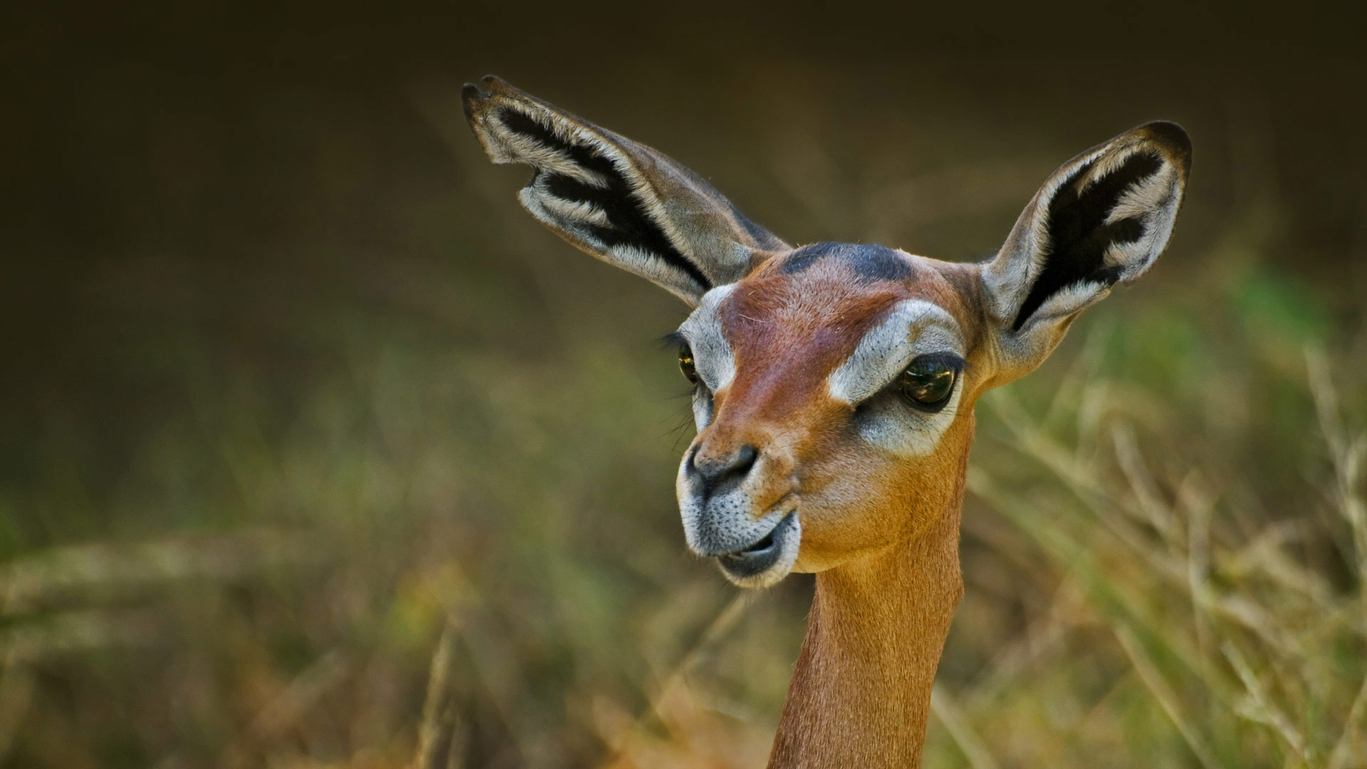 A gerenuk (© Eric Lowenbach/Getty Images)