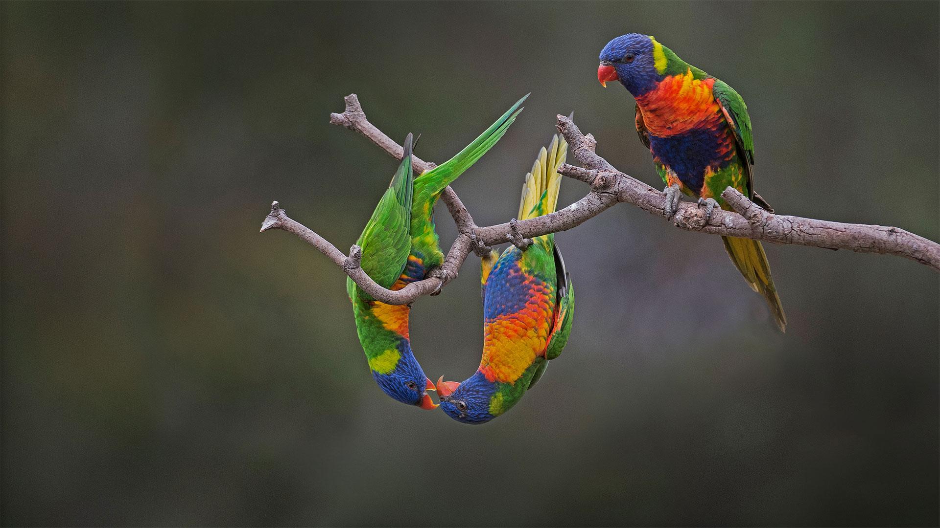 Rainbow lorikeets in Wer…Powell/Minden Pictures)