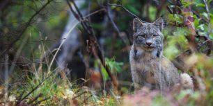 Canada lynx in Denali National Park, Alaska (© Design Pics Inc./Alamy)