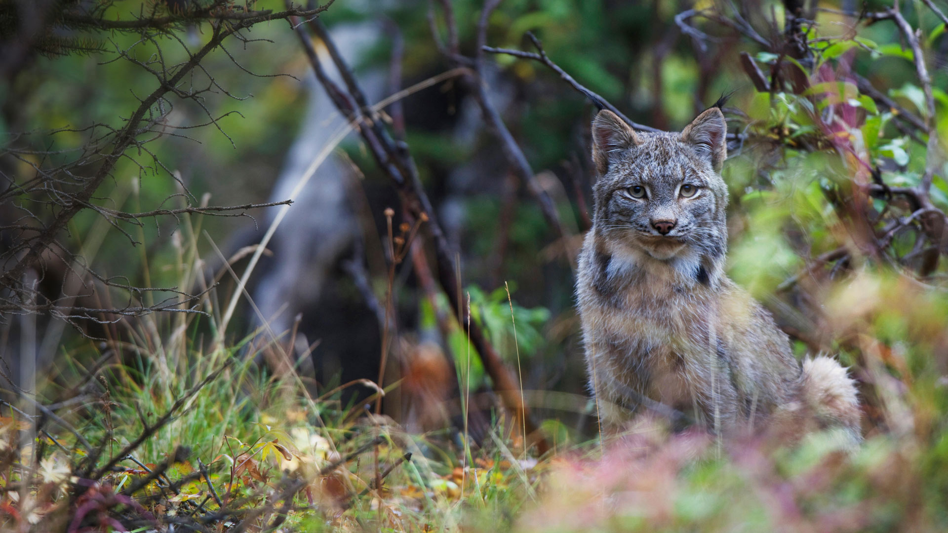Canada lynx in Denali National Park, Alaska (© Design Pics Inc./Alamy)